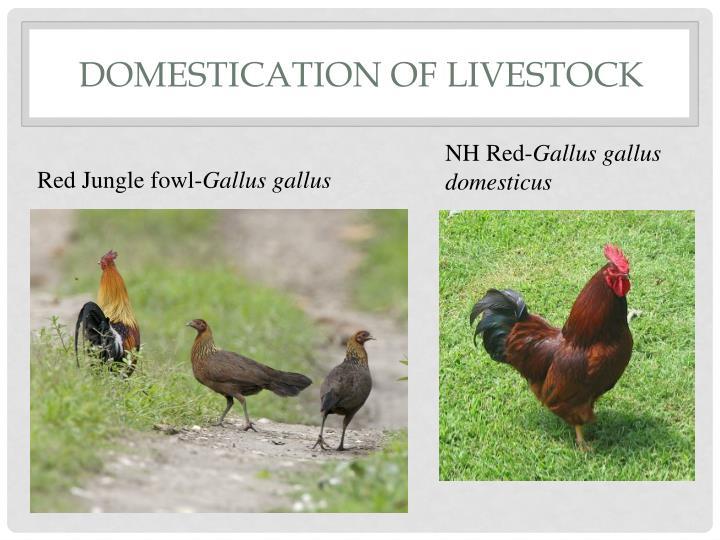 Domestication of Livestock