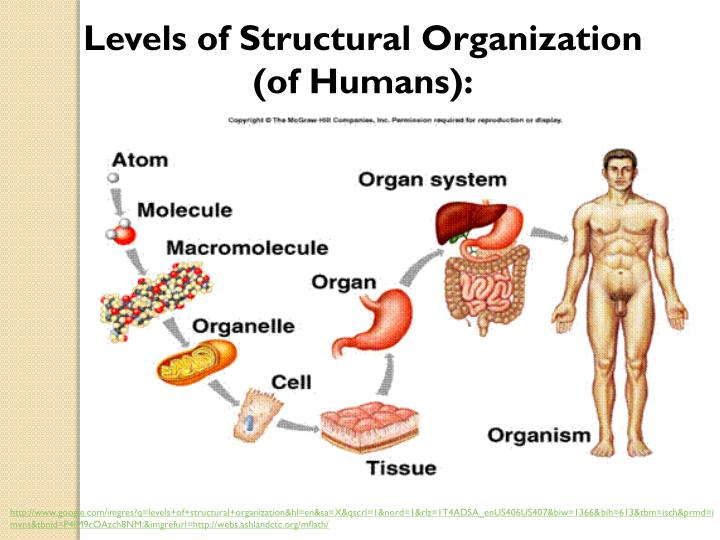 Levels of Structural Organization      (of Humans):