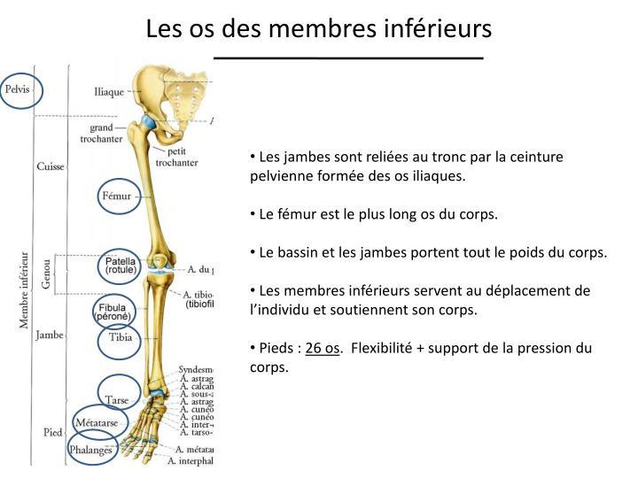Les os des membres inférieurs