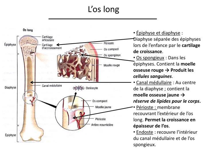 L'os long