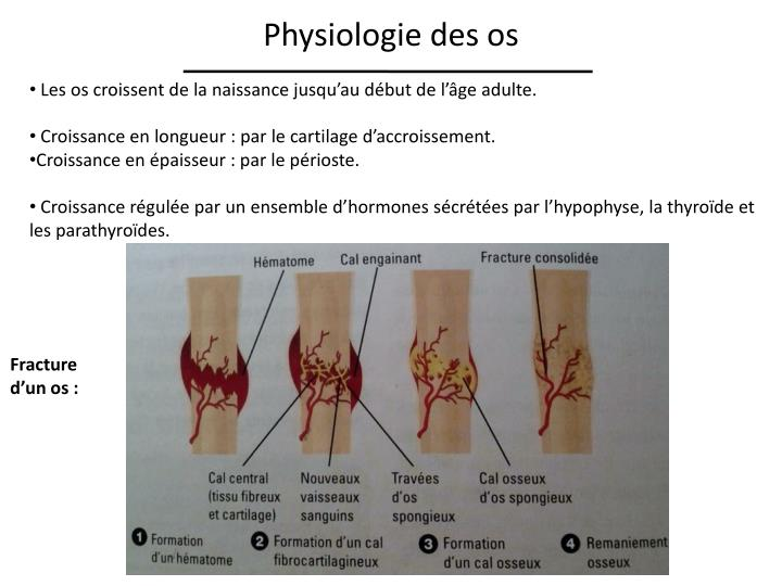 Physiologie des os