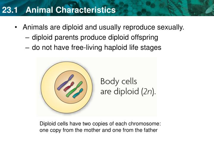 diploid parents produce diploid offspring