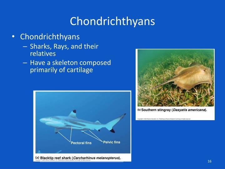 Chondrichthyans