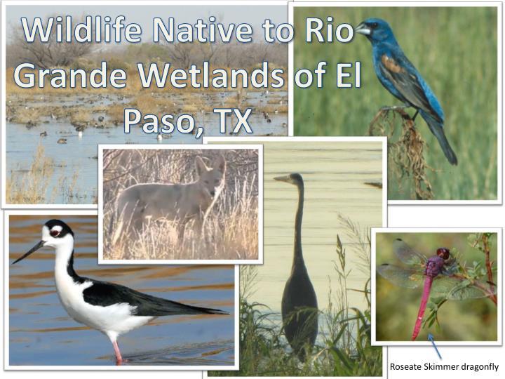 Wildlife Native to Rio Grande Wetlands of El Paso, TX