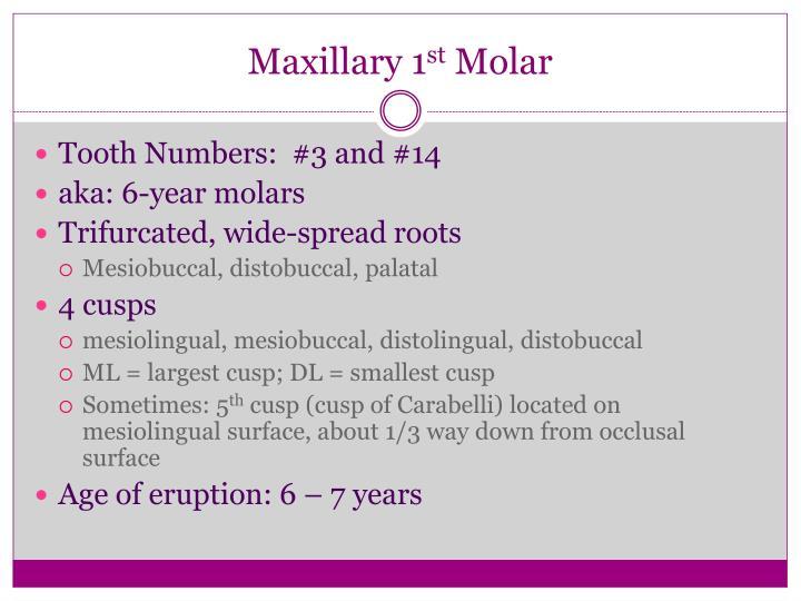 Maxillary 1