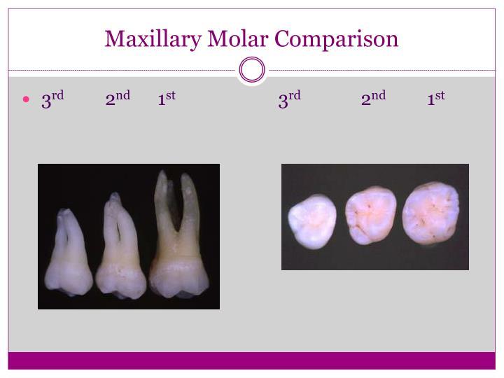 Maxillary Molar Comparison