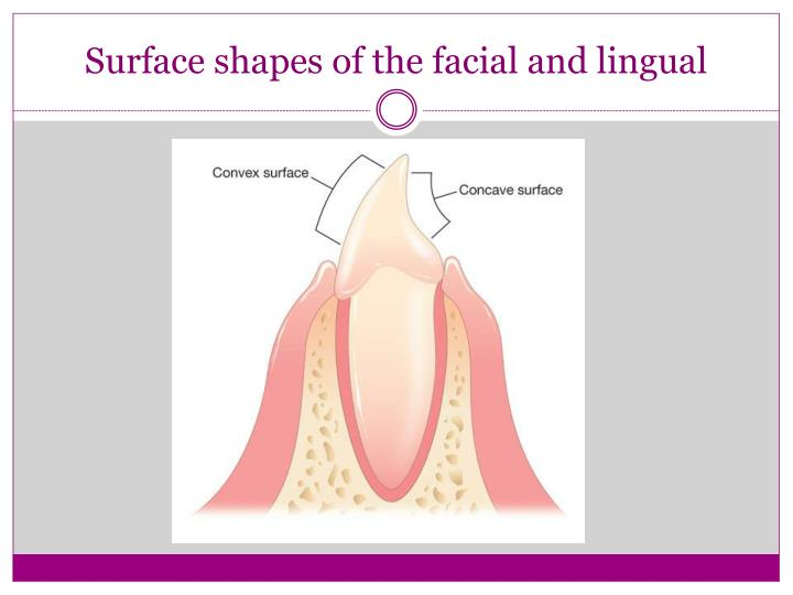 Surface shapes of the facial and lingual