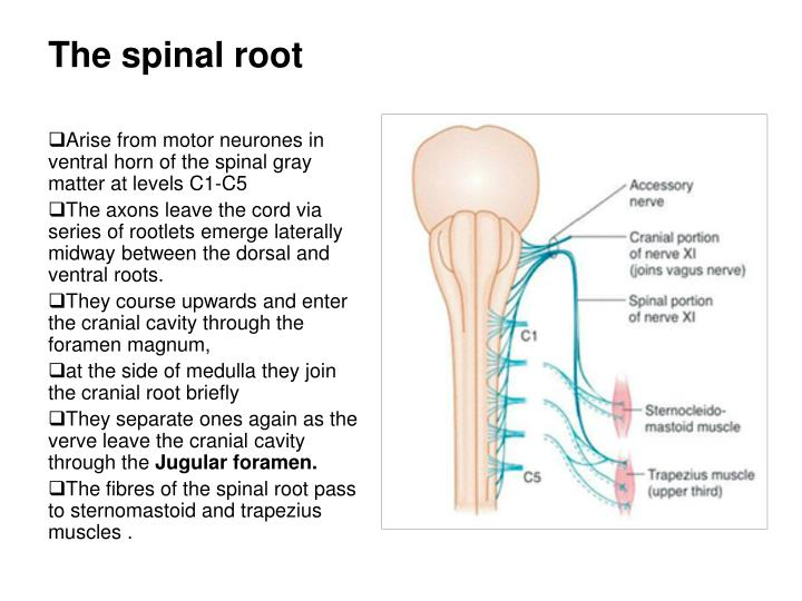 The spinal root
