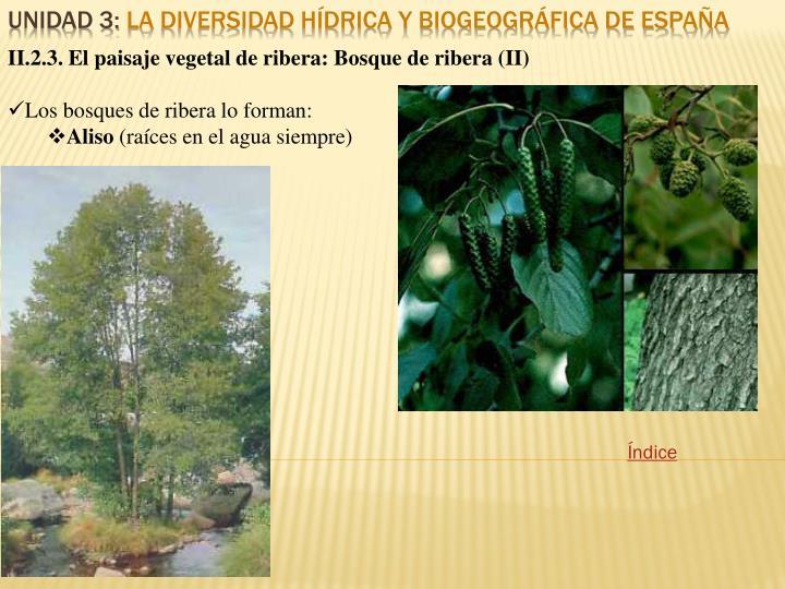 II.2.3. El paisaje vegetal de ribera: Bosque de ribera (II)