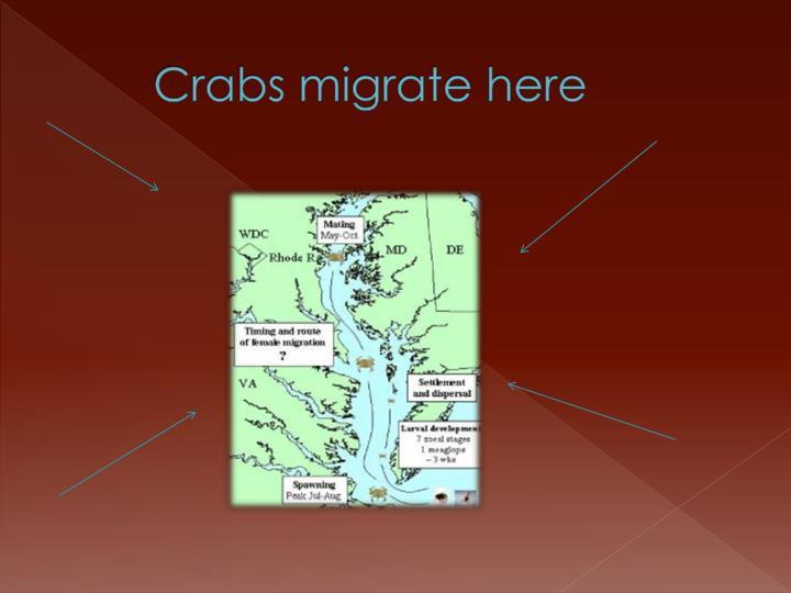 Crabs migrate here
