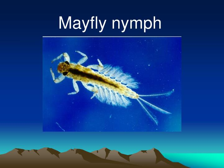 Mayfly nymph