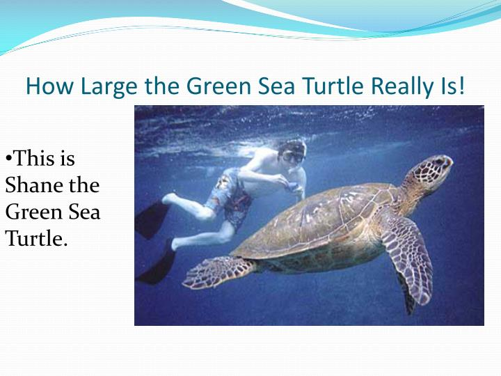 How Large the Green Sea Turtle Really Is!