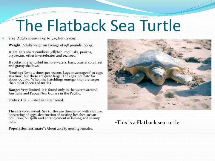 The Flatback Sea Turtle