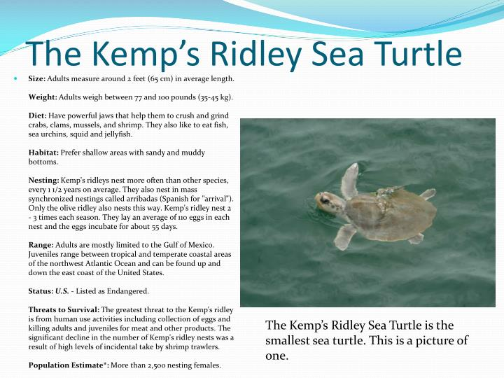 The Kemp's Ridley Sea Turtle