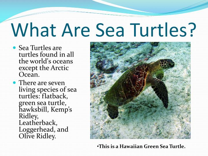 What are sea turtles