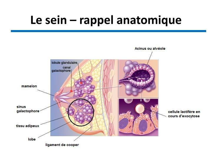 Le sein – rappel anatomique