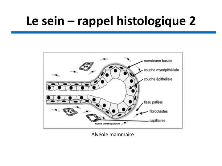 Le sein – rappel histologique 2