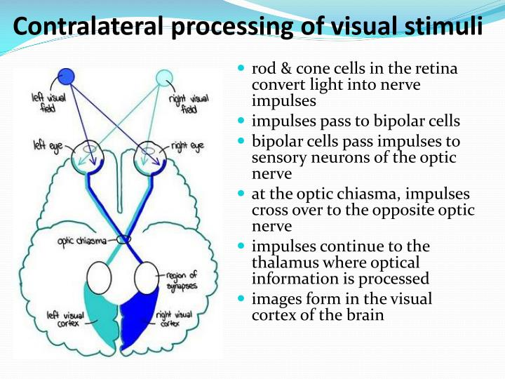 Contralateral processing