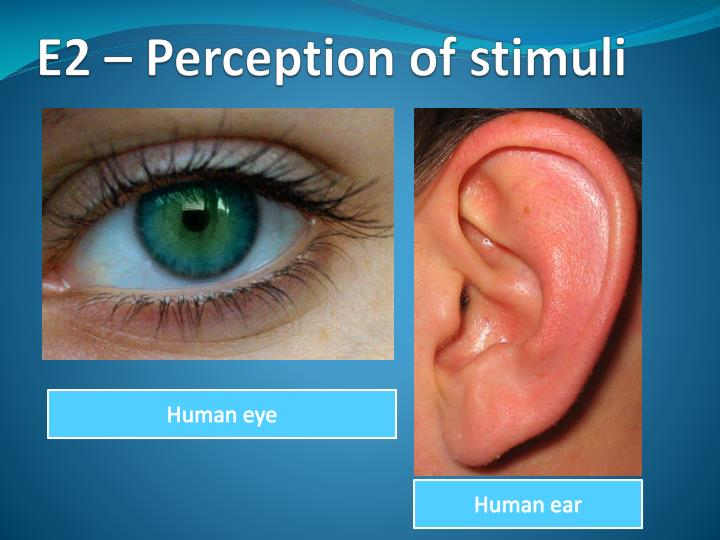 E2 perception of stimuli