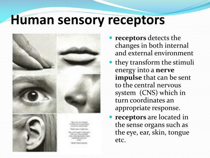 Human sensory receptors