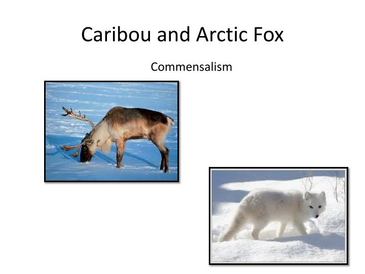 Caribou and Arctic Fox