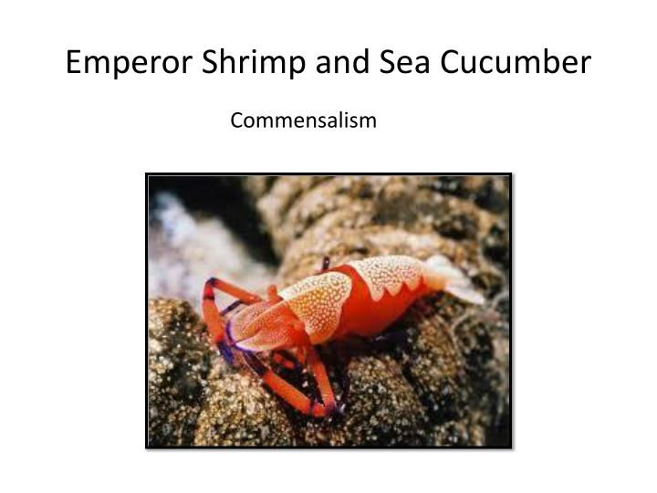 Emperor Shrimp and Sea Cucumber