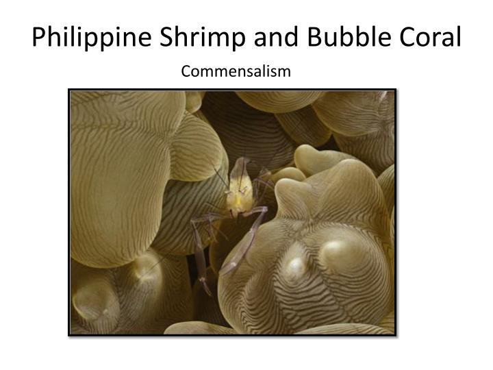Philippine Shrimp and Bubble Coral
