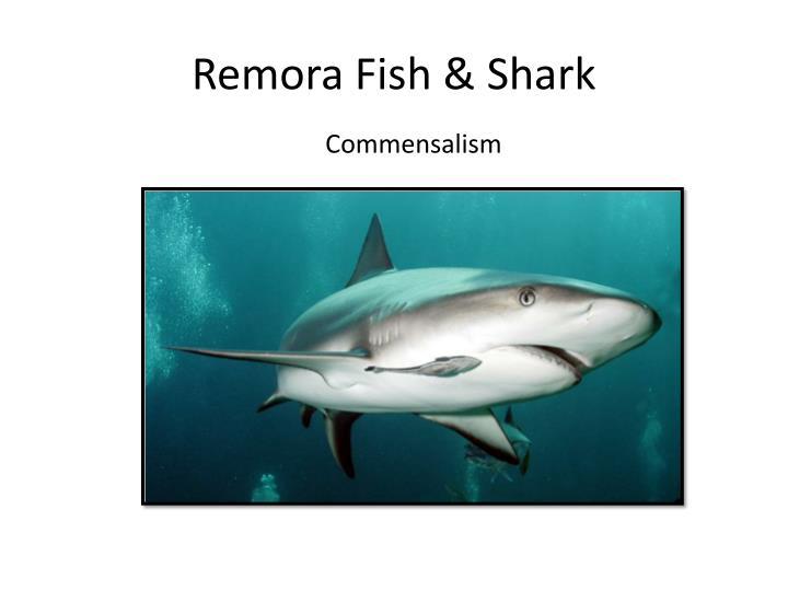 Remora Fish & Shark