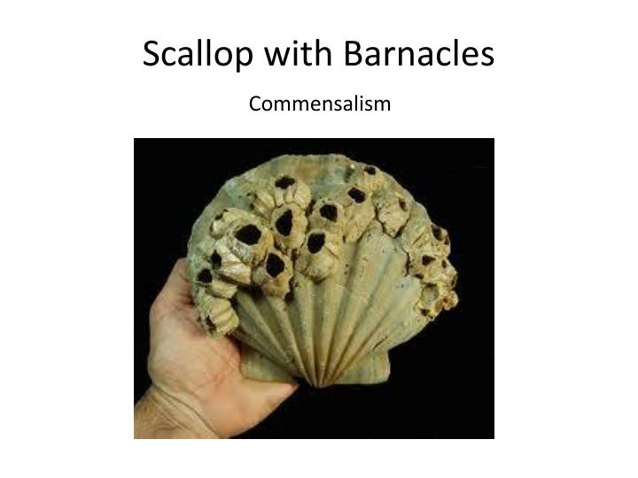 Scallop with Barnacles