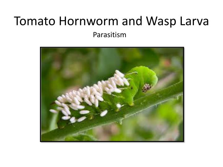 Tomato Hornworm and Wasp Larva
