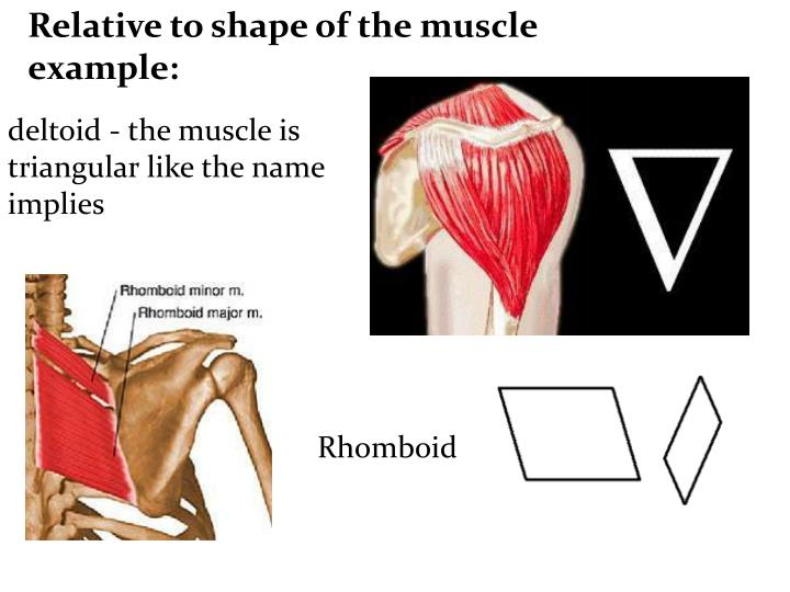 Relative to shape of the muscle example