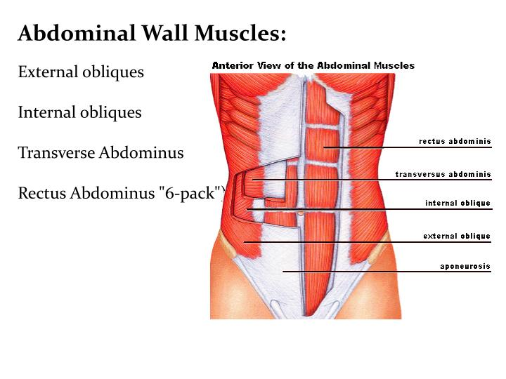 Abdominal Wall Muscles: