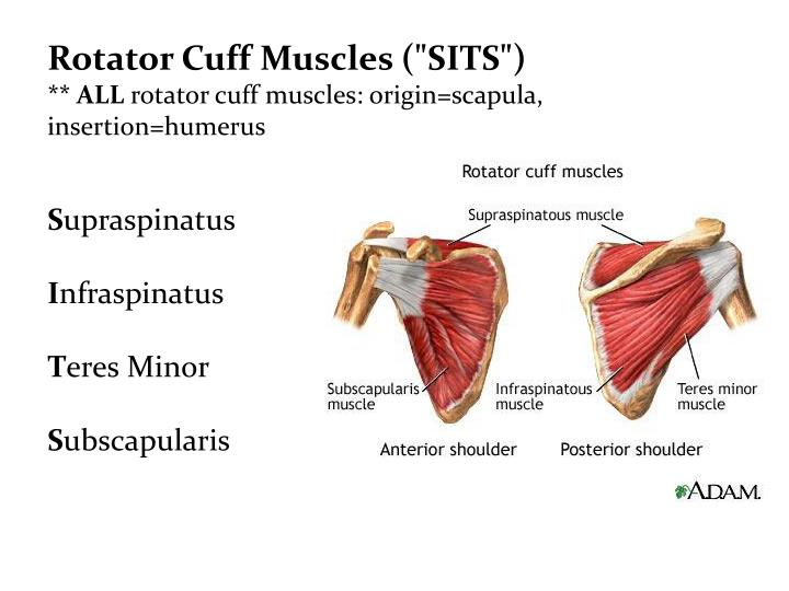 "Rotator Cuff Muscles (""SITS"")"