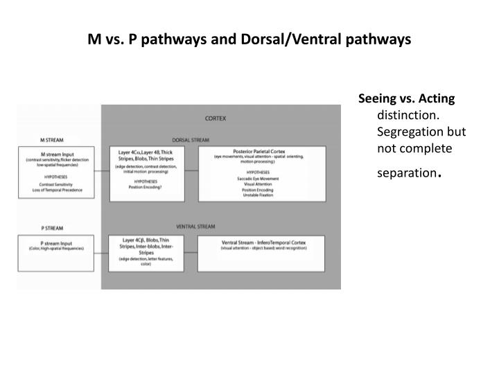 M vs. P pathways and Dorsal/Ventral pathways
