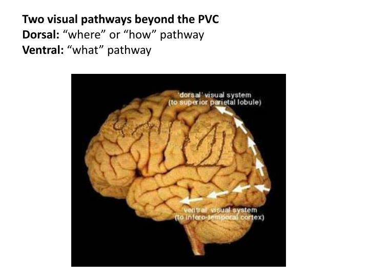 Two visual pathways beyond the PVC