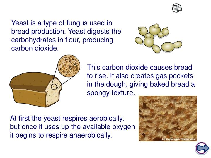 Yeast is a type of fungus used in bread production. Yeast digests the carbohydrates in flour, producing carbon dioxide.