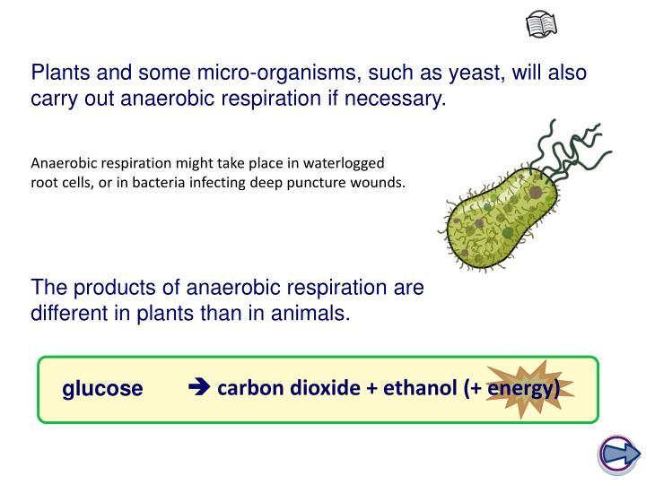  carbon dioxide + ethanol (+ energy)