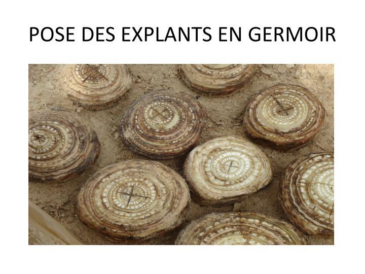 POSE DES EXPLANTS EN GERMOIR