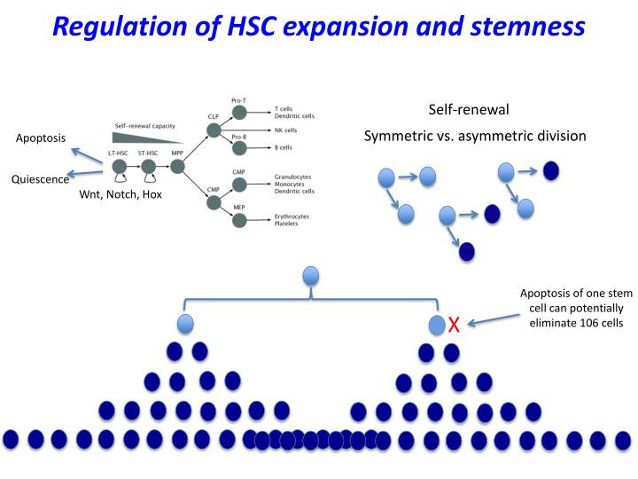 Regulation of HSC expansion and