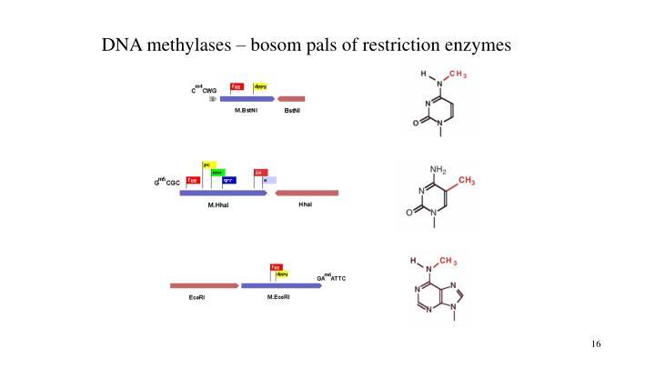 DNA methylases