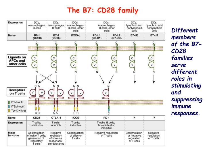 The B7: CD28 family