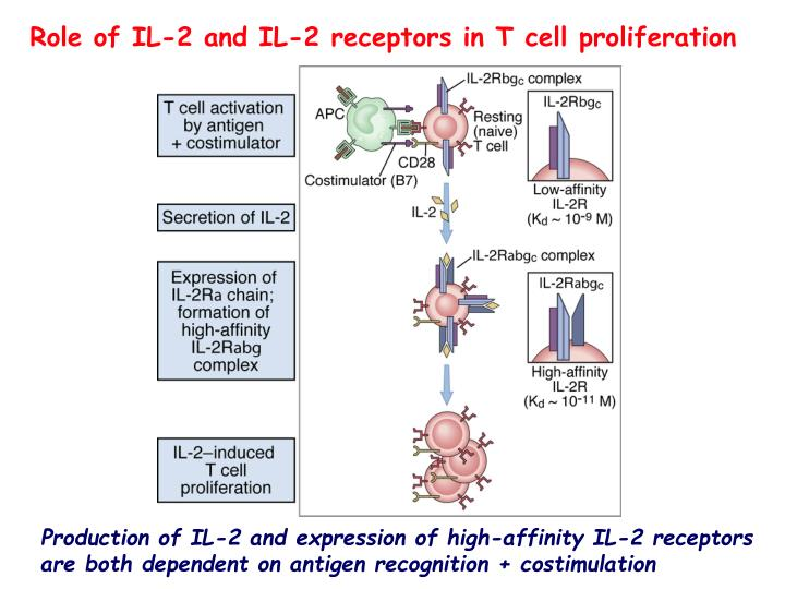 Role of IL-2 and IL-2 receptors in T cell proliferation