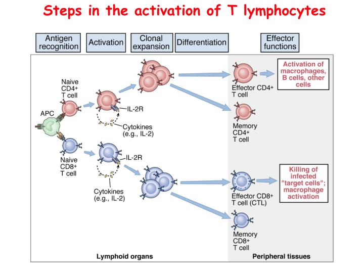 Steps in the activation of T lymphocytes