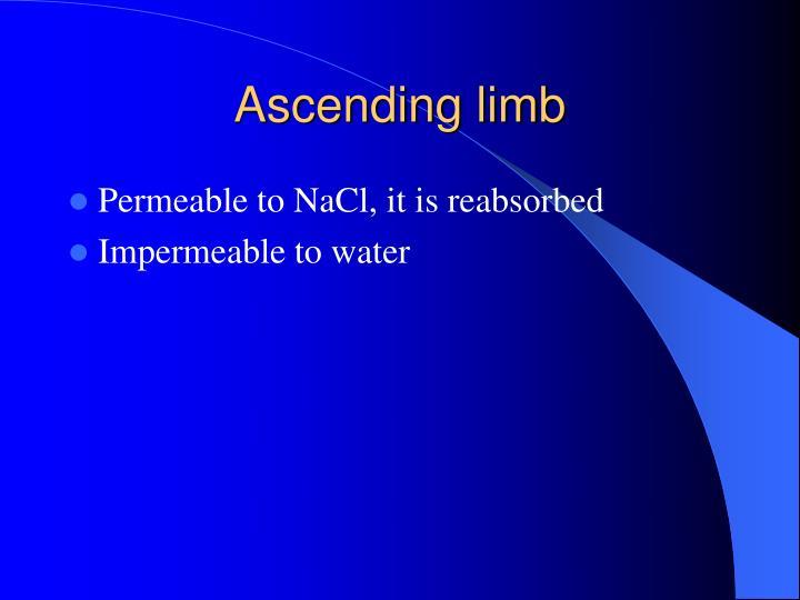 Ascending limb