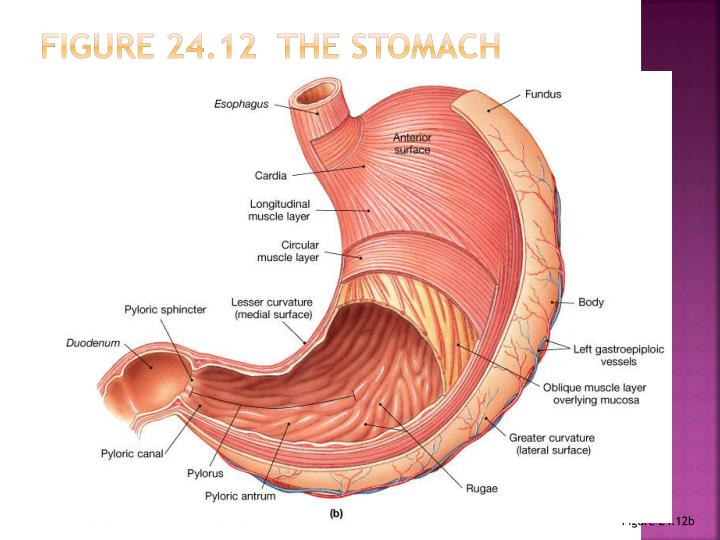 Figure 24.12  The Stomach