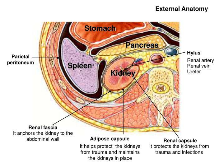 Parietal peritoneum