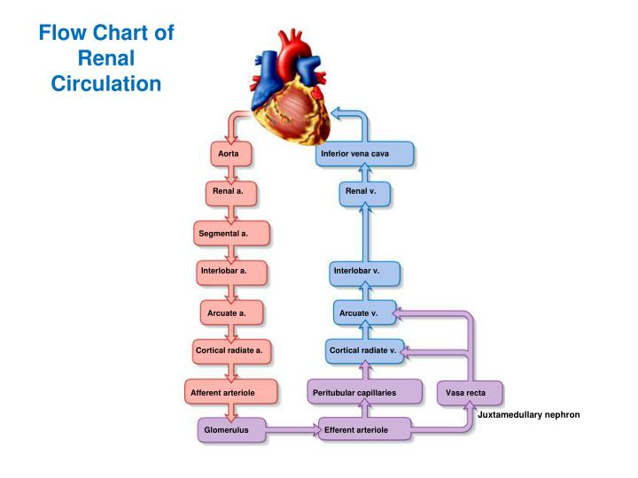 Flow Chart of Renal Circulation