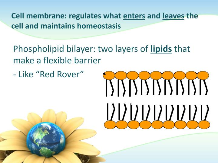 Cell membrane: regulates what