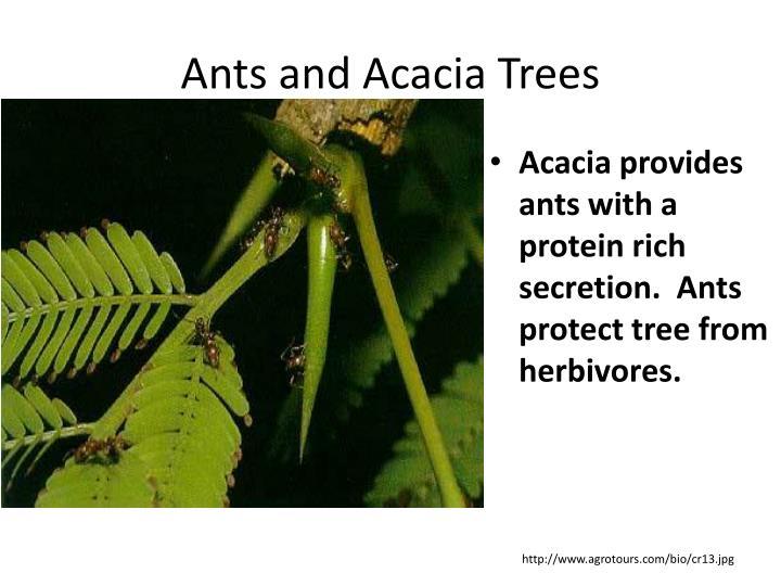 Ants and Acacia Trees