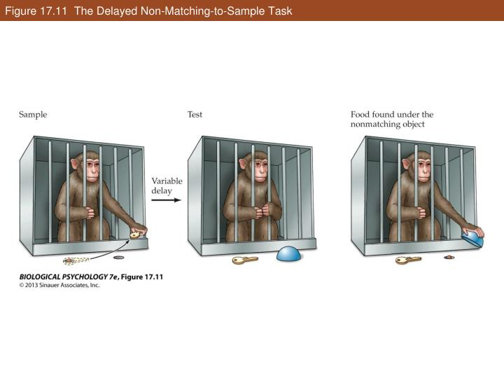 Figure 17.11  The Delayed Non-Matching-to-Sample Task